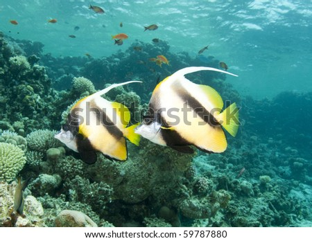 two red sea bannerfish