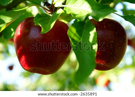 two red shiny delicious apples hanging from a tree branch in an apple orchard