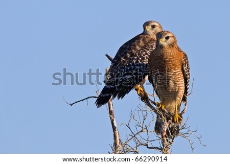 Two red shouldered hawks on branch. A couple hawks in the morning light