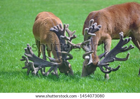 Two red stags with impressive sets of antlers graze in their paddock on the West Coast of New Zealand. #1454073080