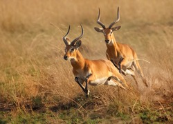 Two reddish-brown antelope Kobus kob thomasi -- Uganda kob, territorial male in mating season chasing a second male in their typical environment, dry brown blurred savanna in Murchison Falls,Uganda..