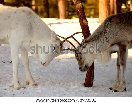 two reindeer fighting