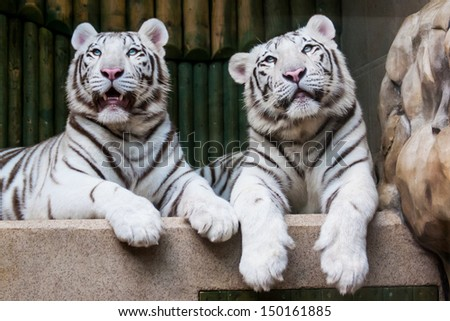 Two relaxing white tigers #150161885