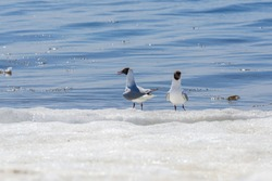 Two relict gulls (Ichthyaetus relictus) aka Central Asian gull stand together on the snowy and icy beach of the Baltic Sea Bay on sunny day of April. Medium-sized gull, rare and endangered species
