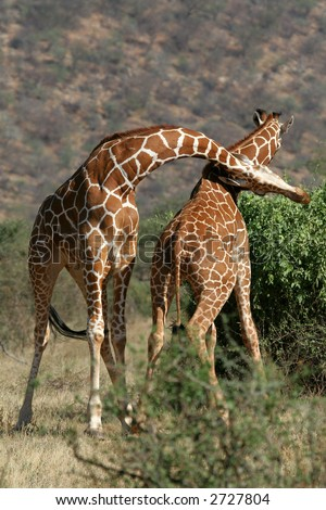 Two reticulated giraffe bulls in sparring fight