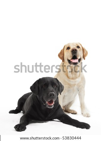 two Retriever Labrador black and ivory shade dogs lying in studio isloated