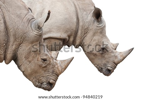Two Rhinoceros heads isolated on white with clipping path