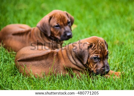 Two Rhodesian Ridgeback puppies lying on the grass #480771205