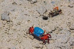 Two rich colored fiddler crabs vie for one hole in the sand.