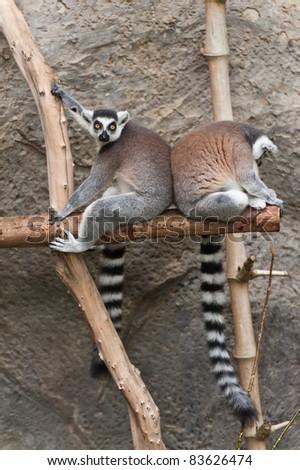 Two Ring-Tailed Lemur