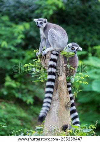 Two ring-tailed lemur (lemur catta) looking