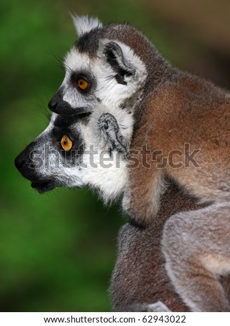 Two ring-tailed lemurs are looking in one side.