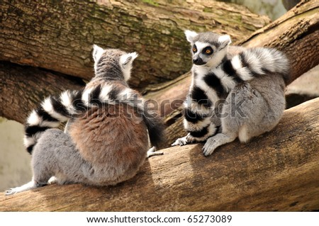 Two ring-tailed lemurs are sitting on a tree trunk with their tails around their necks