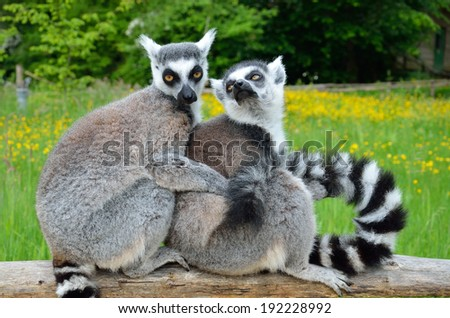 Two ring-tailed lemurs are snuggling up together for warmth on the wooden fence at the animal park.