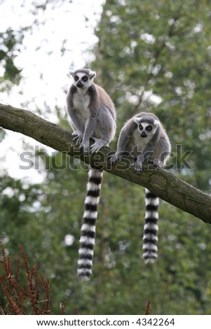 Two ring-tailed lemurs in a tree
