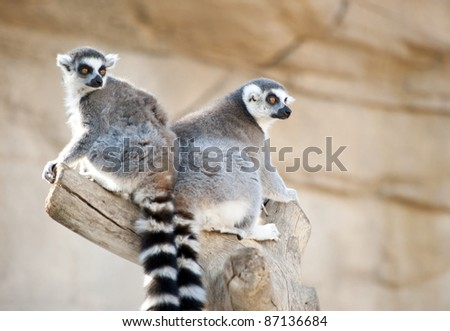 Two Ring Tailed Lemurs in a Tree