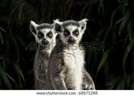 two Ring-tailed Lemurs (Lemur catta) frontal portrait