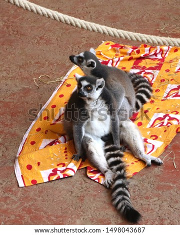 Two ring-tailed lemurs on a blanket