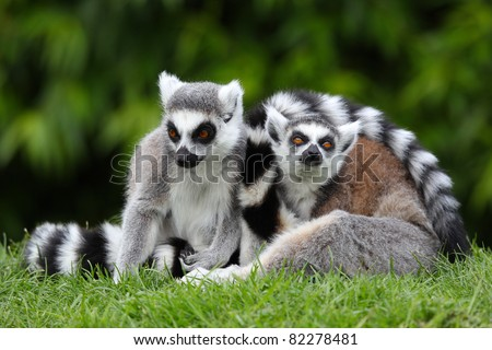 two ring tailed lemurs on grassy patch