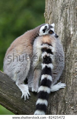 Two ring tailed lemurs relaxing in a tree