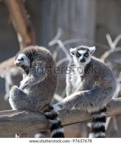 Two Ring Tailed Lemurs sitting on a branch