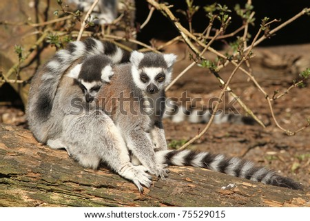 Two ring-tailed lemurs sitting on a log