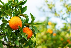 Two ripe oranges on a green branch against a background of citrus trees. Ripe fruits in the sunset light. Harvest time. Ripening of organic citrus fruits. Seasonal fruit picking. Agriculture in Turkey