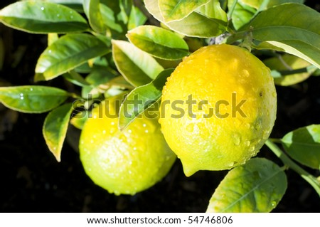 Two ripping lemons on tree branch with green leaves