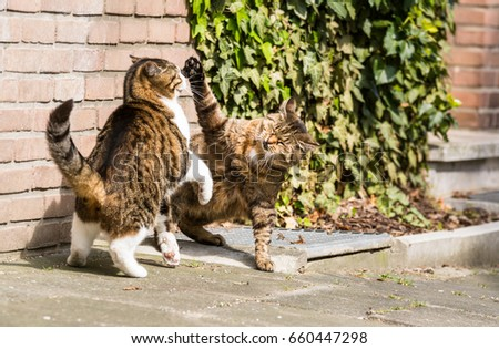 Two roaring cats in front of a house wall #660447298
