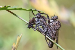 Two robber flies are sitting on a blade of grass. One fly eats the captured victim. The robber fly (Asilidae) preys on various insects.