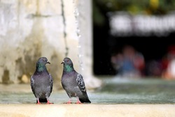 Two rock pigeons