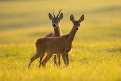 Two roe deer, capreolus capreolus, looking on sunny field in summer nature. Male and female animal standing on green meadow in sunlight. Couple of wild mammals standing close together.