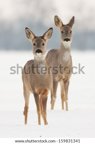 Stock Photo Two roe deer does in winter watching