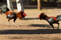 two rooster was fighting at outdoor area