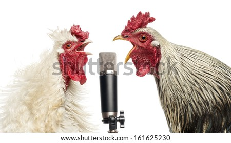 Two roosters singing at a microphone, isolated on white #161625230