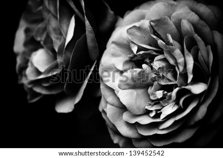 two roses in black and white