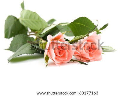 two roses isolated on white background