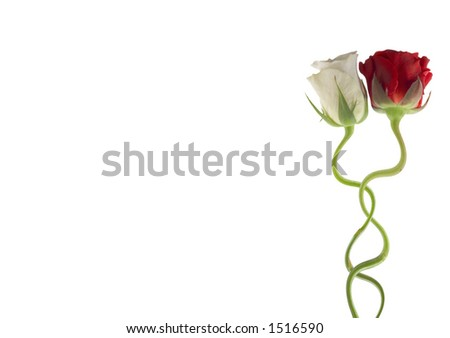 Two roses together isolated on white clipping path included and room to write