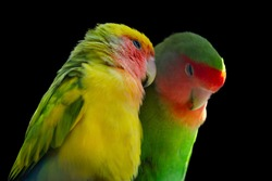 Two Rosy-faced lovebird (Agapornis roseicollis) also known as rosy-collared or peach-faced lovebird. Two colorful parrots, male and female, in love isolated on black background.