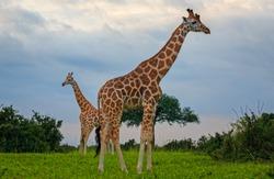 two Rothschild Giraffe (Giraffa camelopardis rothschildi) standing tall in Murchison Falls NP, Uganda