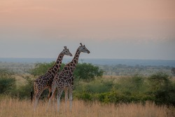 Two Rothschild giraffe in Murchison Falls National Park, Uganda