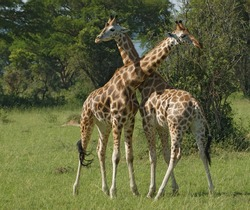 two Rothschild Giraffes fighting in Uganda (Africa)