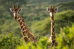 Two Rothschild's giraffe standing together in the wild-kenya