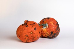 Two rotten and mildewed pumpkins on a white background