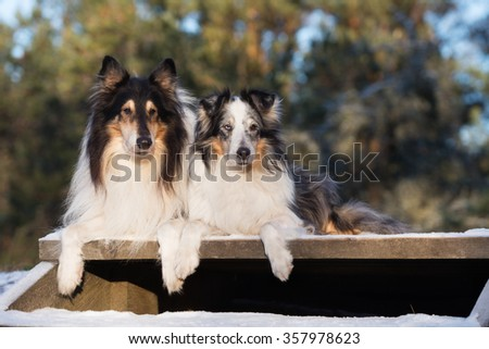two rough collie dogs lying down outdoors