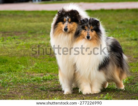 Two Rough collies ahead are on the grass in the park.