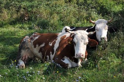Two ruminant cows in pasture at summer, Europe, Hungary