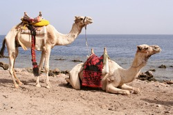 Two saddled bedouin camels waiting for tourists