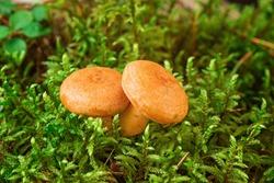 Two Saffron milk mushrooms in moss. Lactarius deliciosus mushroom closeup. Forest mushroom. Selective focus - Image