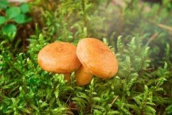 Two Saffron milk mushrooms in moss. Lactarius delicious mushroom closeup. Forest mushroom. Selective focus - Image